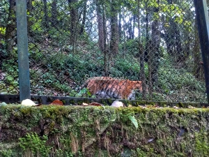 Royal Bengal Tiger in Darjeeling Zoo